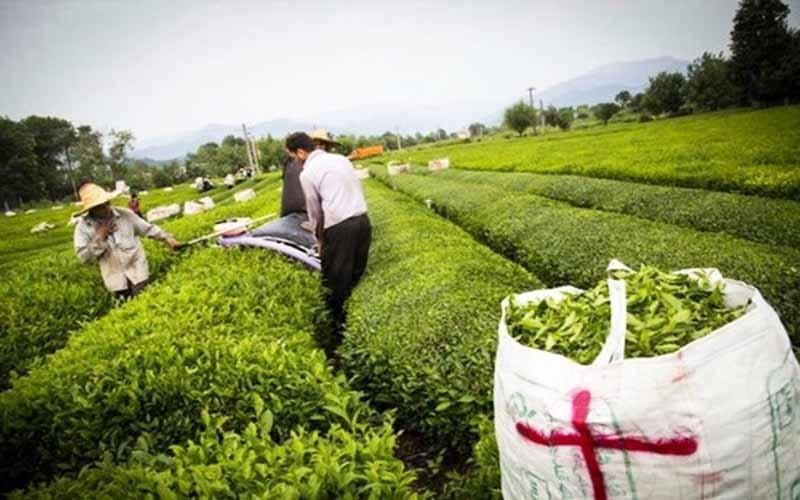 دنیا ساز در گفت و گو با خبرنگاران: یک چهارم چای مصرفی فراوری داخل است، پرداخت 94 درصد از مطالبات چایکاران