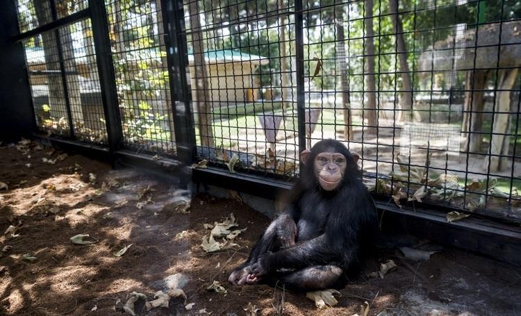 جنجال بر سر سرنوشت شامپانزه 3 ساله باغ وحش ارم