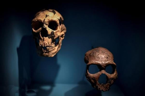 فراوری مغز اجداد انسان در آزمایشگاه
