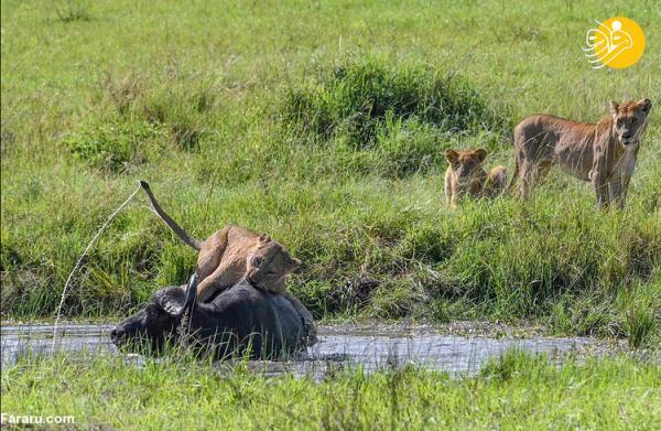(تصاویر) شیرهای گرسنه بوفالو را در آب خفه کردند